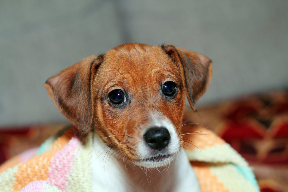 Puppy in custody dispute with divorce lawyers in St. Clair Shores